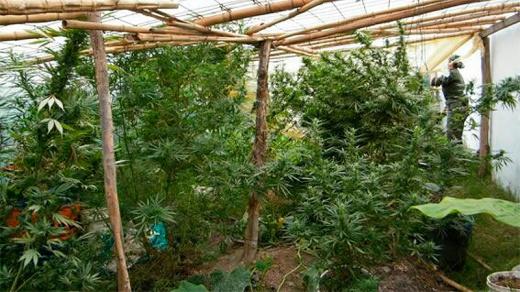 Tenían un invernadero con 19 plantas de marihuana en el fondo de la casa